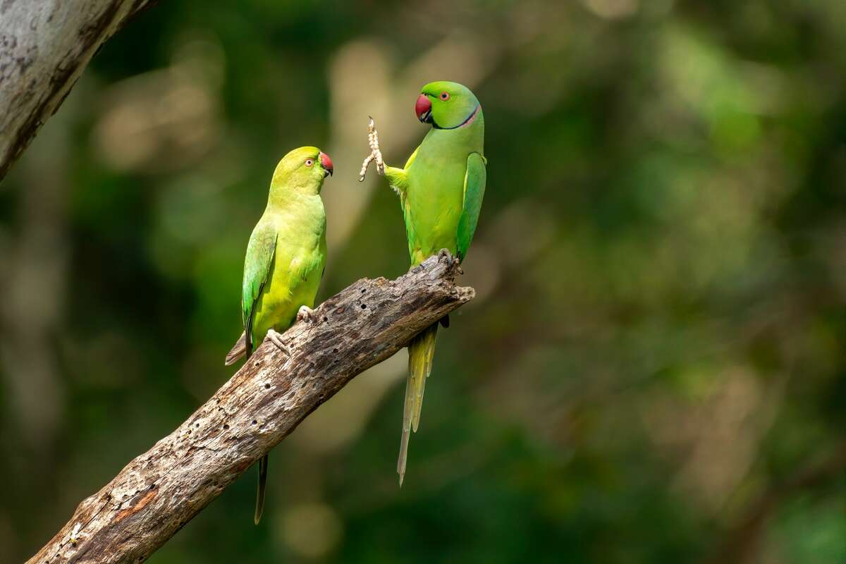 Social distance, if you don't mind: Rose-ringed parakeets in Kaudulla National Park, Sri Lanka. (Highly commended, Comedy Wildlife Photo Awards 2020.)