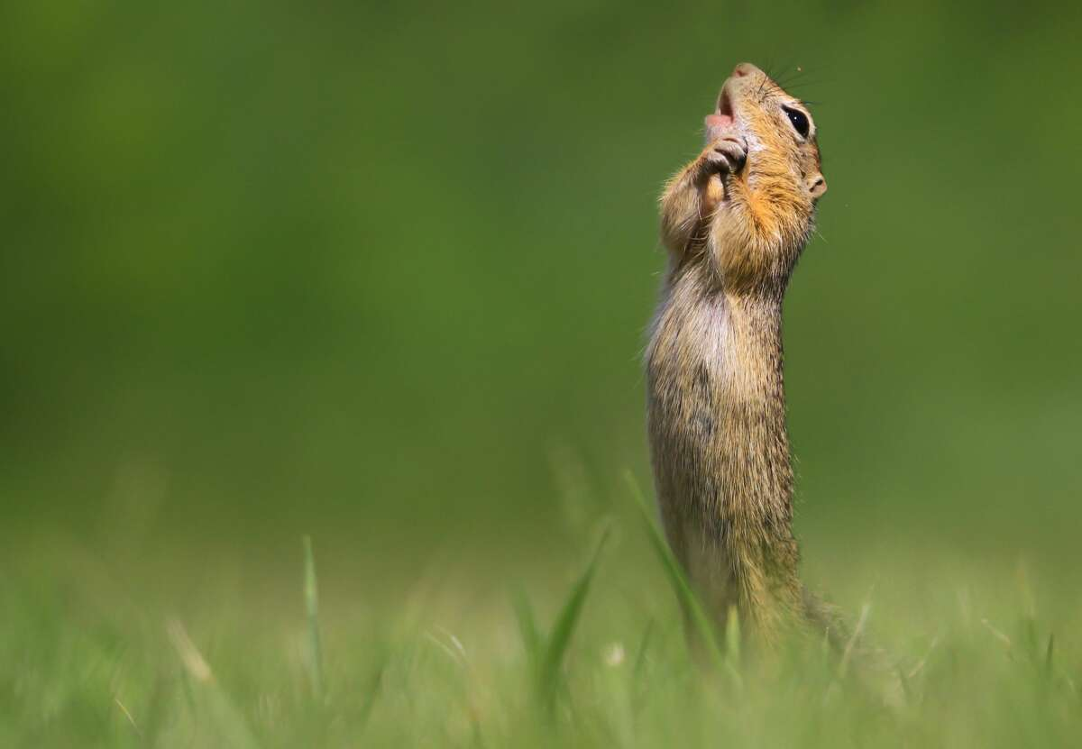 'O sole mio! A ground squirrel belts out a tune in Hungary. (Finalist, Comedy Wildlife Photo Awards 2020.)