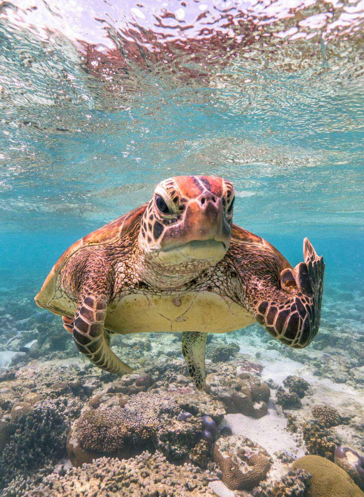Eff you, paparazzo! This photo of a sea turtle off Lady Elliot Island on the South Queensland coast won the top prize in the 2020 Comedy Wildlife Photography Awards.