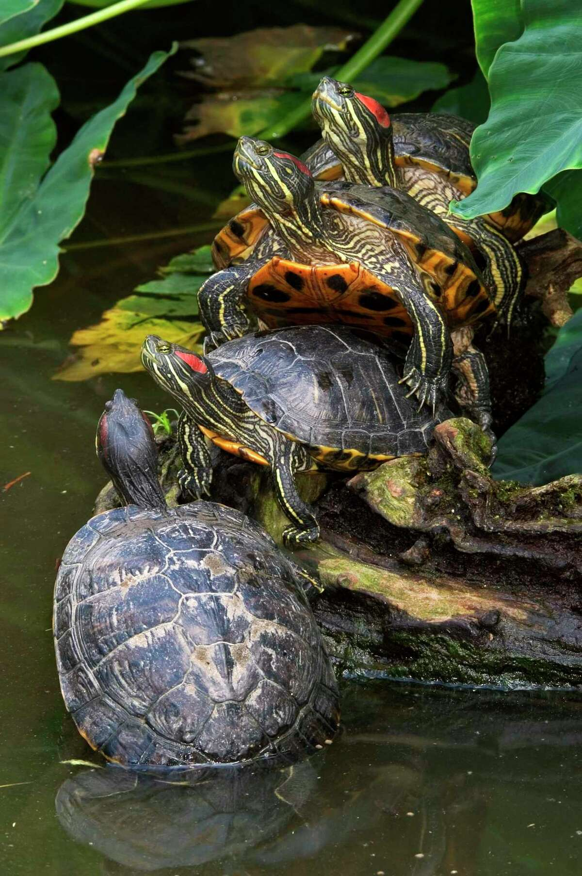 Red-eared sliders have a knack for overtaking other turtles and upsetting ecosystems when introduced to areas outside their own native habitat.