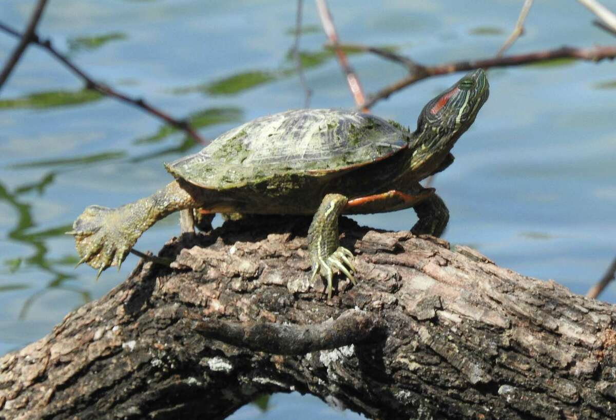 A red-eared slider in the San Antonio area. The semi-aquatic turtle is native to the Alamo City and much of the south central United States.