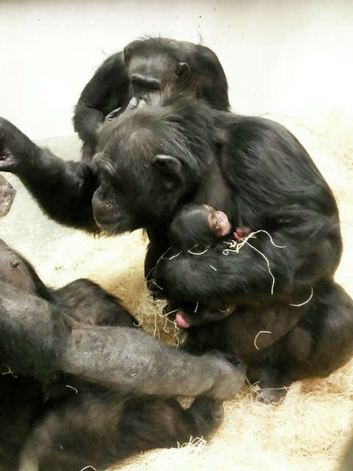 Chimpanzees Rosebud, left, and Utamu, center, holds tightly her female baby, born Oct. 28, at the Saint Louis Zoo's Jungle of the Apes, while Beauty, in background, sits among them. Photo: Photo Credit Helen Boostrom/Saint Louis Zoo|For The Telegraph