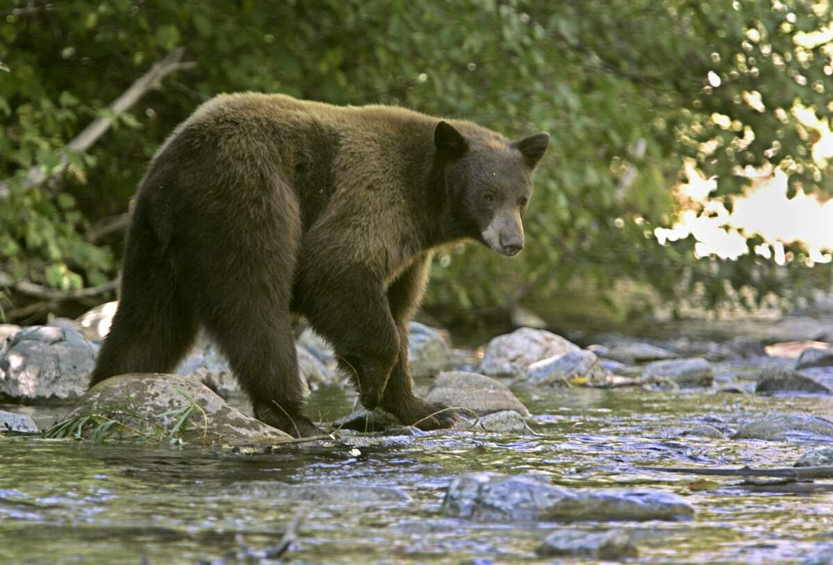 A black bear in Lake Tahoe in 2008. California Department of Fish and Wildlife recently released back to the wild a bear that was causing trouble in Kings Beach, on the north end of Lake Tahoe.