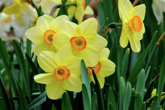 Plant daffodils in November for extra color next spring.