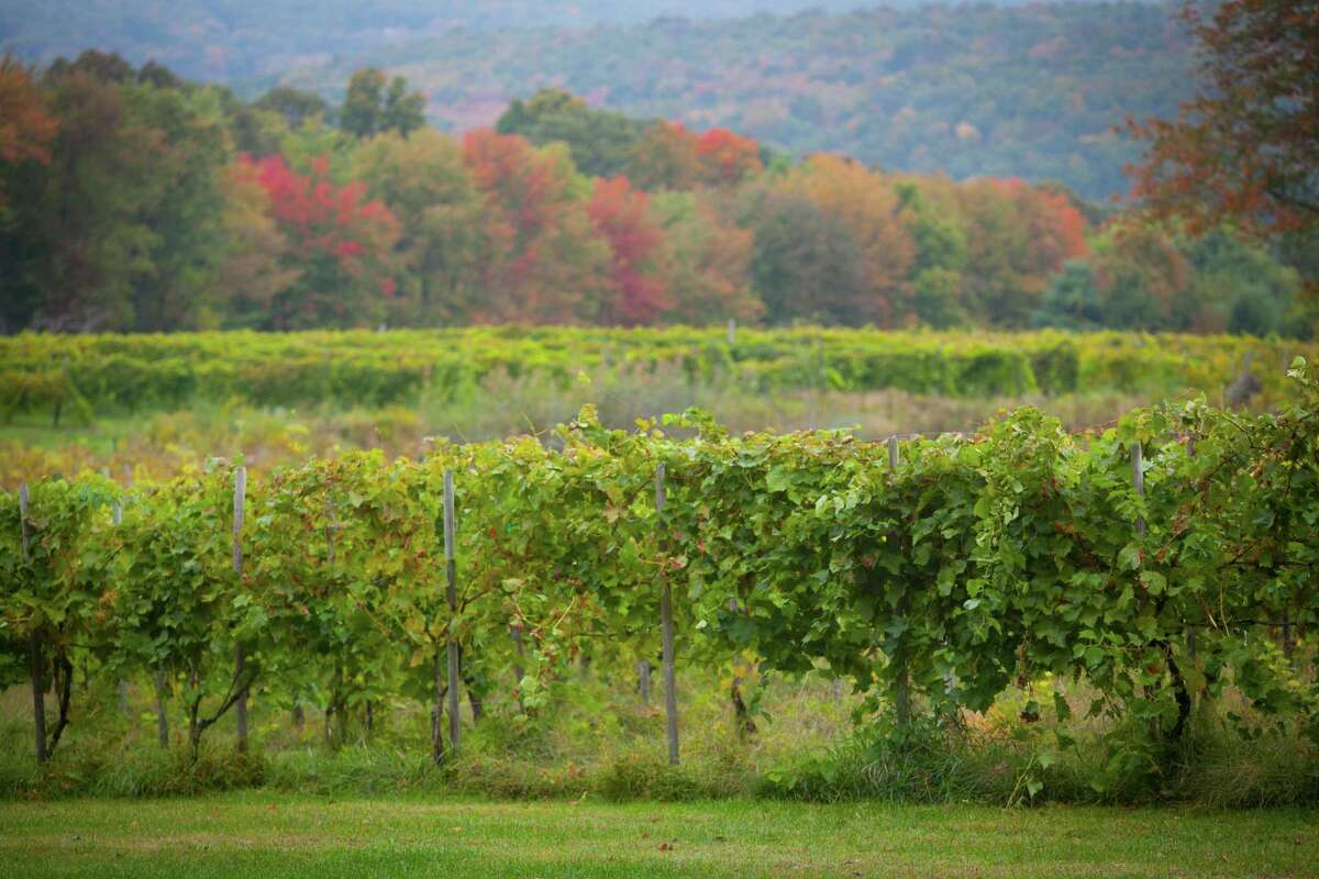 A view of the vines at Priam Vineyards in Colchester.