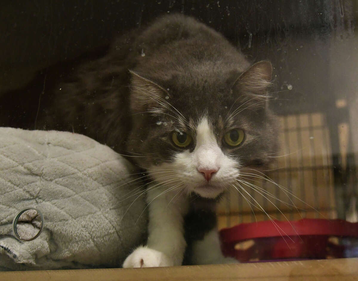 Thyme is a cat up for adoption at the Mohawk Hudson Humane Society on Wednesday, Oct. 28, 2020 in Menands, N.Y. (Lori Van Buren/Times Union)
