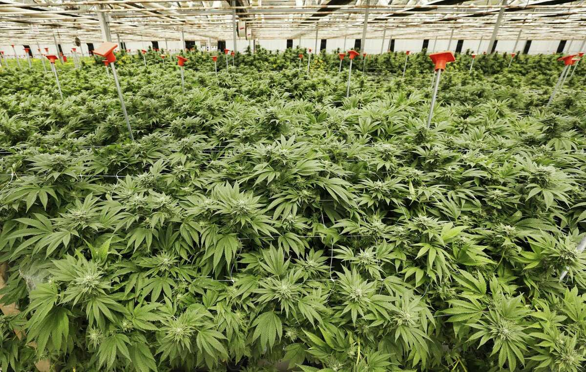 Marijuana growing in a steel-frame greenhouse.