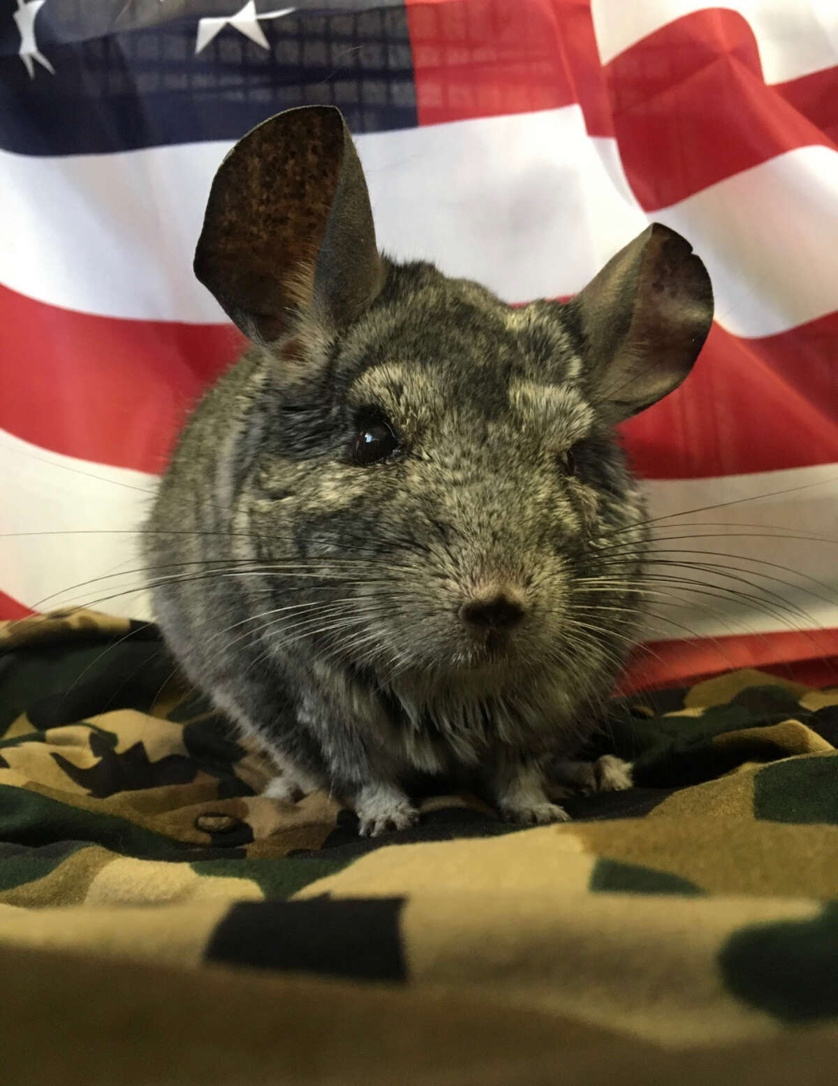 Wiggles the chinchilla stands by her win proudly in the 2020 Beardsley Zoo race for mayor. Wiggles died Sunday from