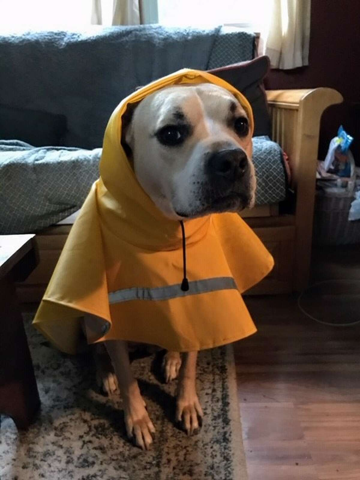 Fawn, from Castleton-on-Hudson gets prepared for a walk on a rainy day, from Brian Kinch.