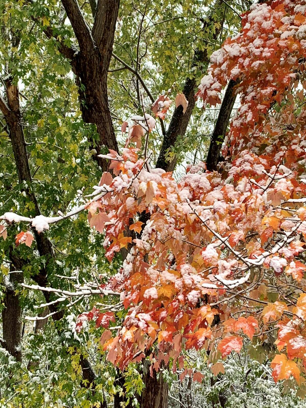 Kathy Colman of Cohoes noticed the the ironic juxtaposition of fall leaves still on trees that are coated with the early Oct. 30 snowfall. It reminds her of the October 1987 snow disaster --