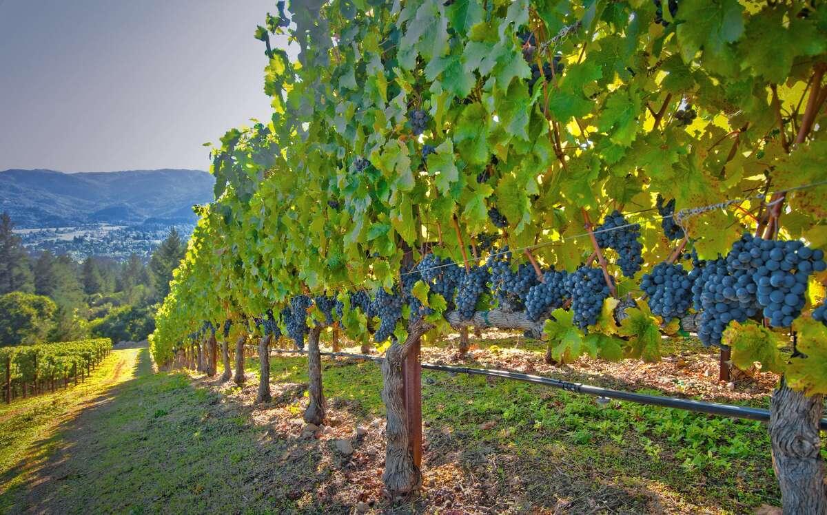 A vineyard near St. Helena in the Napa Valley