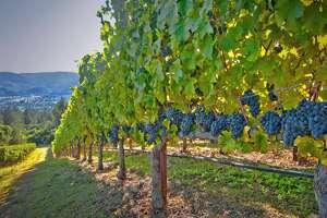A vineyard near St. Helena in Napa Valley