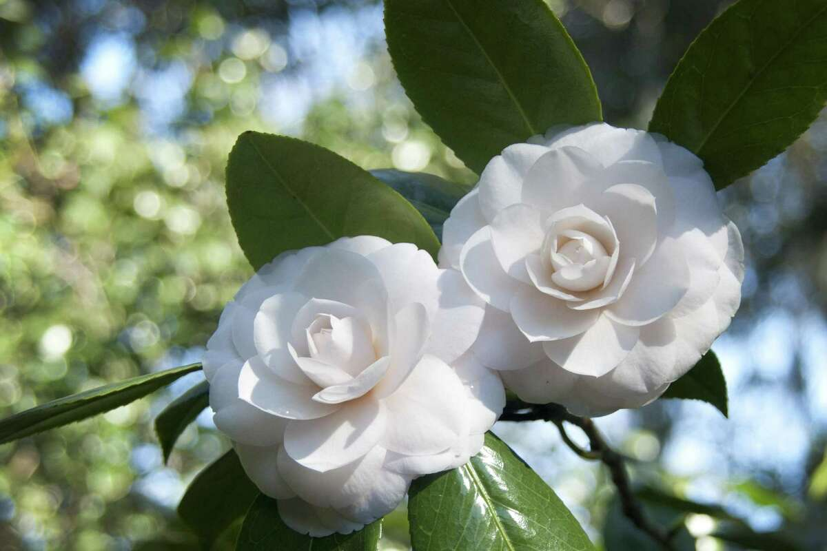 This undated image provided by Middleton Place in Charleston, S.C., shows a pair of perfect white camellia blossoms in full bloom. Middleton Place is a 65-acre property and National Historic Landmark known for its landscaped gardens. Each spring, Middleton Place hosts