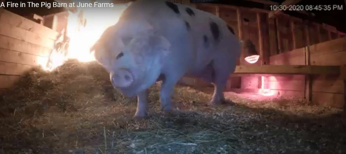 Ethel, a pregnant sow at June Farms in West Sand Lake, is seen in a screen grab from a video of a small fire in the pig barn on Oct. 30. 2020. The pig was unharmed. (Provided photo.)