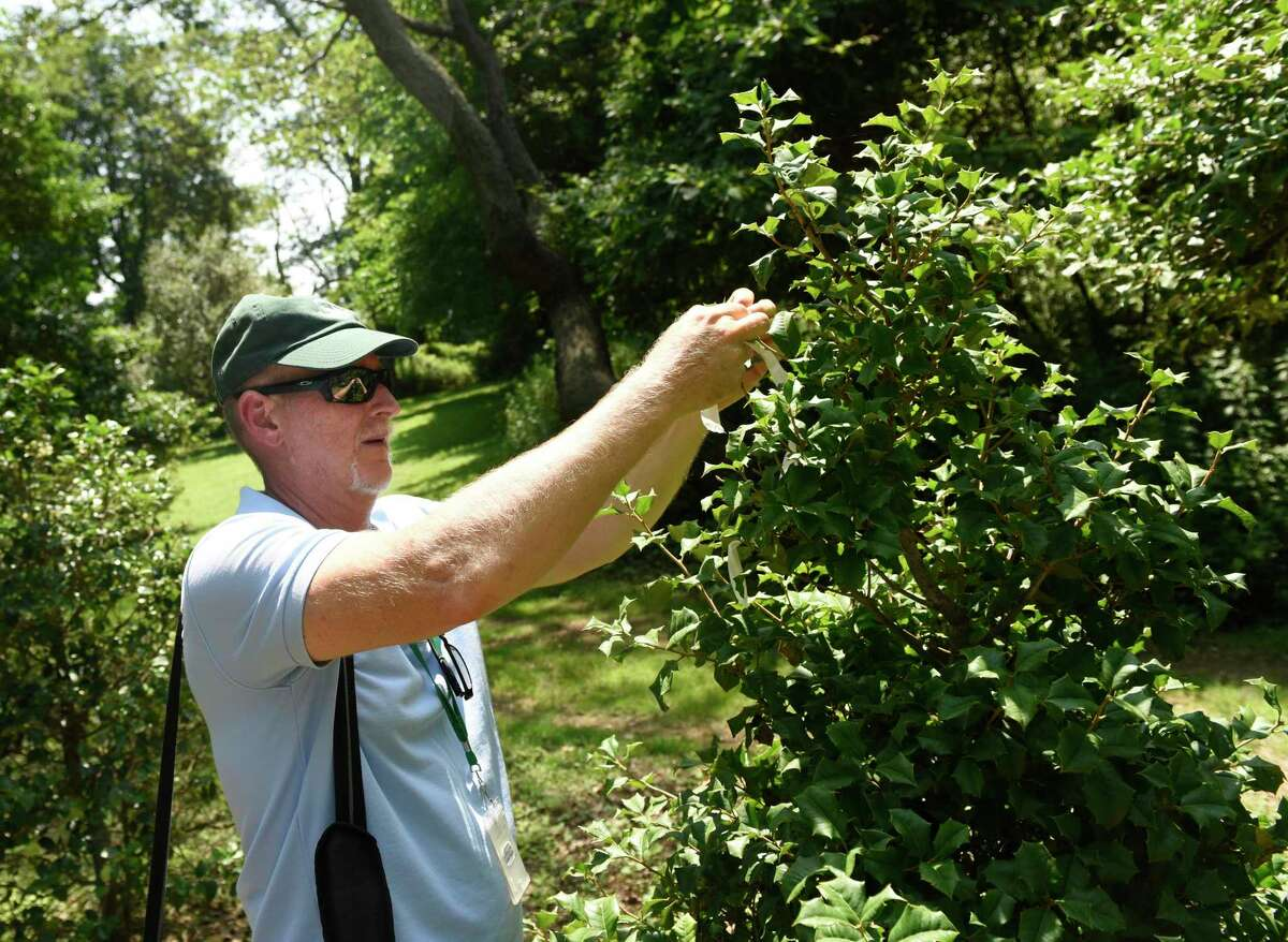 Superintendent of Parks & Trees Dr. Greg Kramer removes a marker from a newly-planted holly tree in the holly grove at Greenwich Point Park in Old Greenwich, Conn. Tuesday, July 9, 2019.