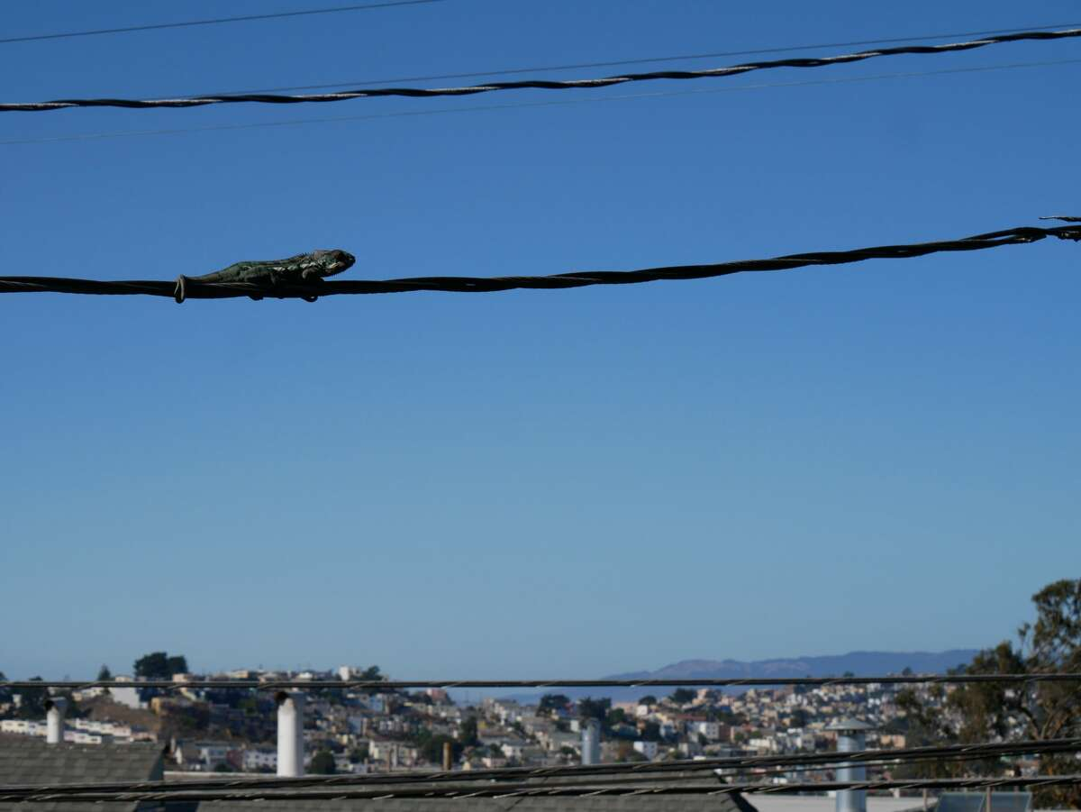 A chameleon sat on a utility wire connected to a Daly City home for three days before it was rescued onWednesday, Nov. 4, 2020.
