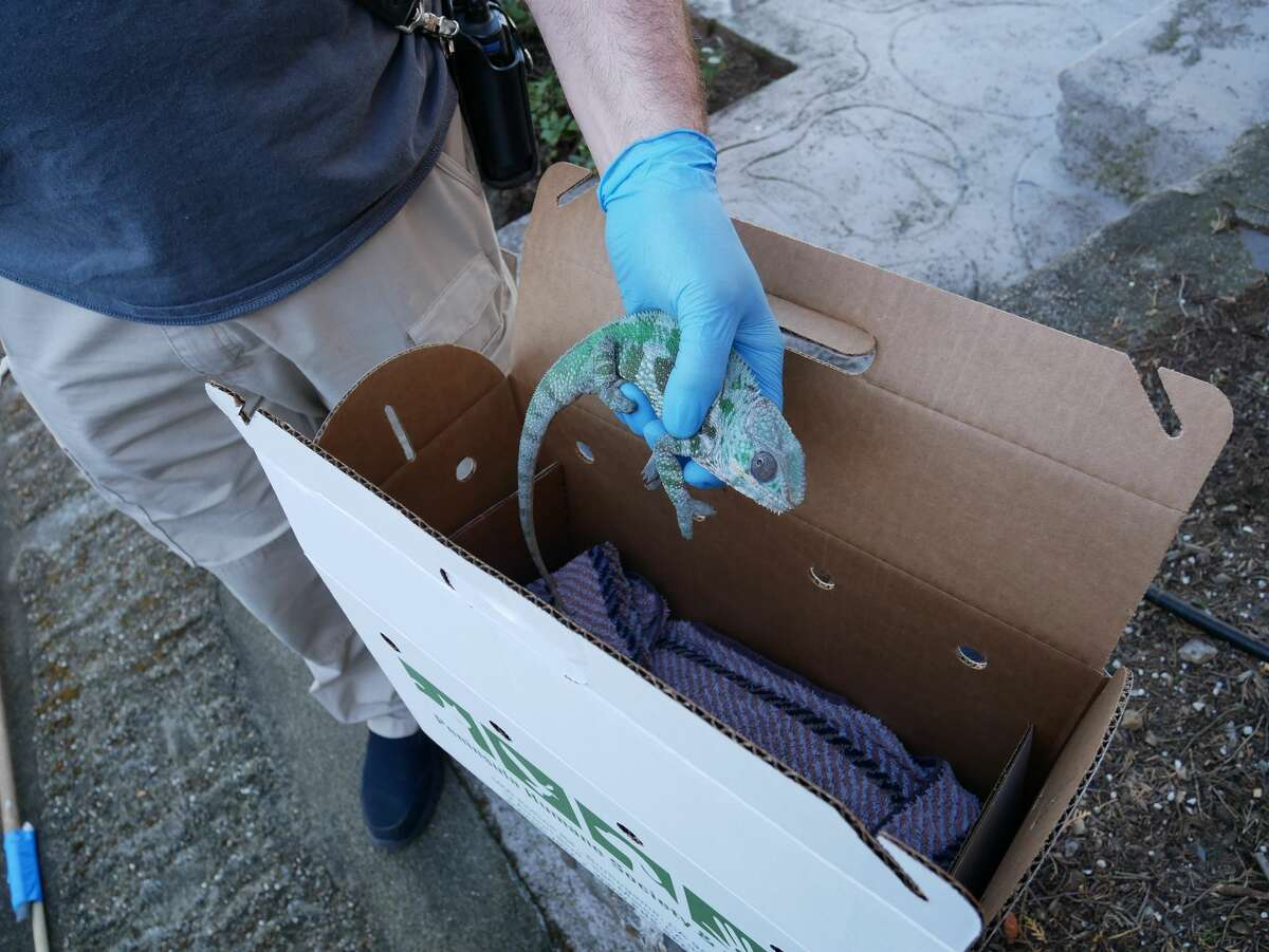A Peninsula Humane Society & SPCA staff member gently places the chameleon into an animal carrier on Wednesday, Nov. 4, 2020.