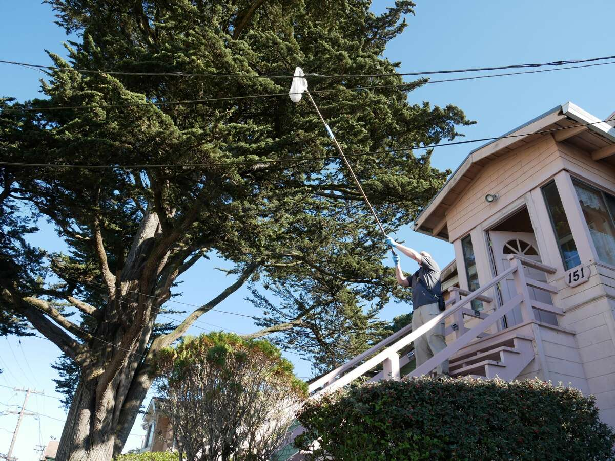 A member of the Peninsula Humane Society & SPCA staff uses a makeshift butterfly net to coax a chameleon off a utility wire in Daly City on Wednesday, Nov. 4, 2020.