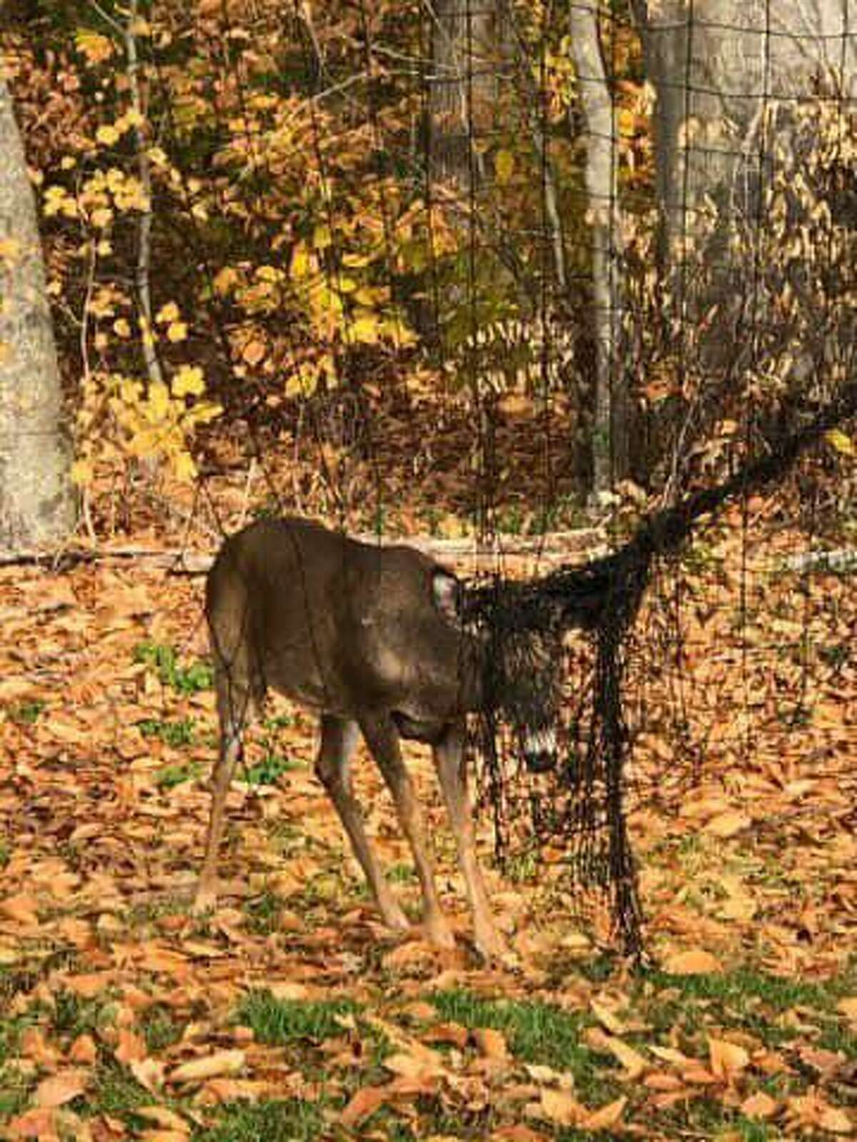 A deer tangled in netting in Manchester, Conn., on Sunday, Nov. 1, 2020, was freed by some officers and civilians.