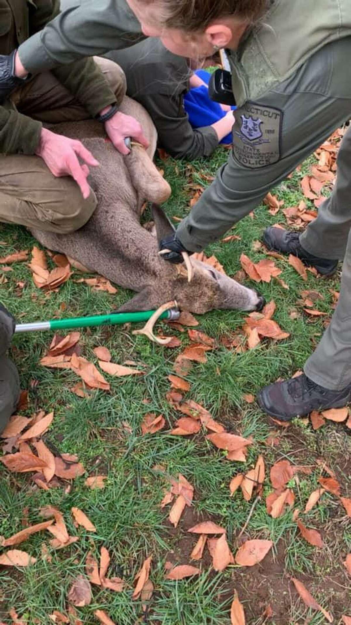 Officers and civilians help a deer tangled in netting in Manchester, Conn., on Sunday, Nov. 1, 2020.