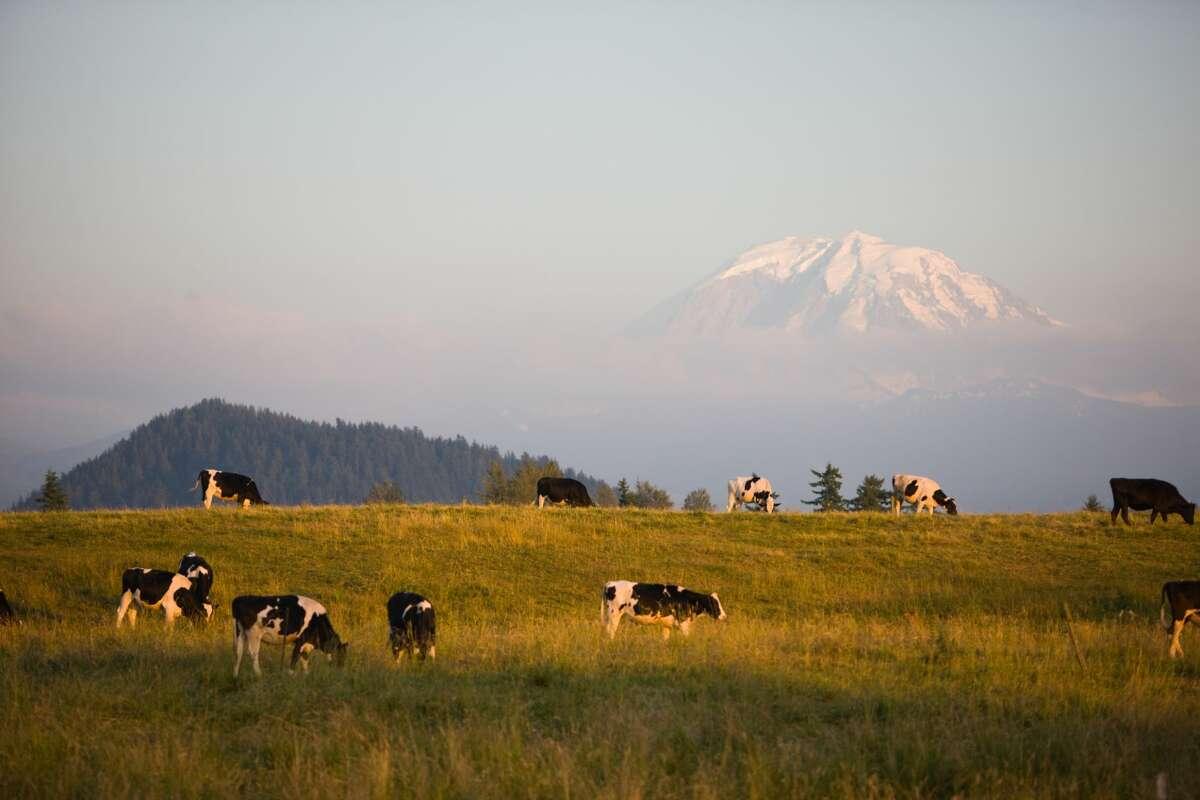Dairy Cows Graze under the watchful gaze of Mount Rainier.