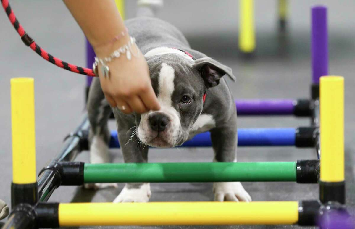 Guapo goes through an obstacle course at Believe in Dogs, a dog training and day care facility in Houston on Thursday, Nov. 5, 2020. The Heights business has doubled its staff since COVID-19 hit and added 10 new classes during the week to accommodate all the demand