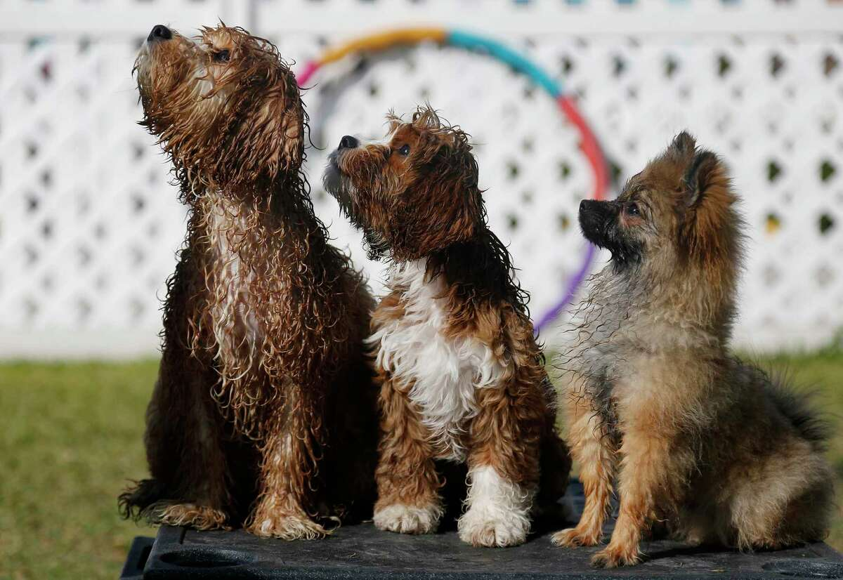 Puppies wait for a treat at Believe in Dogs, a dog training and day care facility in Houston on Thursday, Nov. 5, 2020. The Heights business has doubled its staff since COVID-19 hit and added 10 new classes during the week to accommodate all the demand