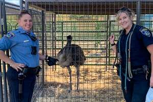 An emu was discovered wandering through a suburban neighborhood in Pleasanton on Friday. It has been captured and is now located at the Alameda County animal shelter.