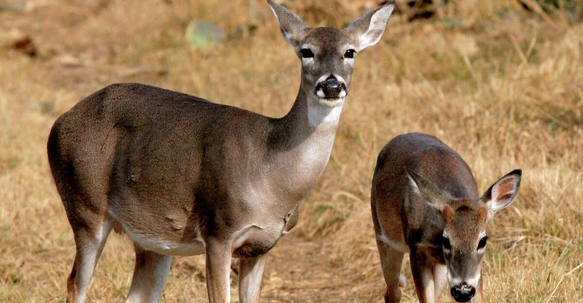 Doe harvest is recommended on the Edwards Plateau, home to an estimated 2.4 million white-tailed deer and the highest deer density in the state.