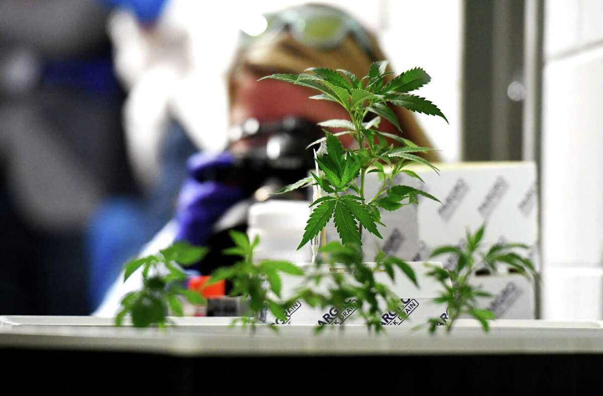 Cloned medical marijuana cuttings are seen during a tour of Vireo Health's Fulton County facility on Monday, Nov. 9, 2020, in Johnstown, N.Y. (Will Waldron/Times Union)