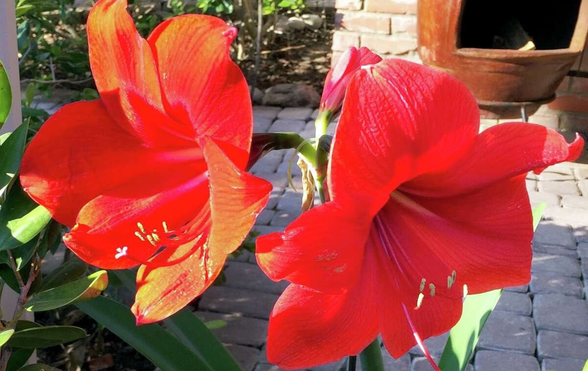 If you have a protected location, or if you're in a part of Texas where temperatures rarely go below 25 degrees, sub-tropical amaryllis can can be grown in beds in the ground. Otherwise, you would want to leave them in pots and let them grow all spring and summer.