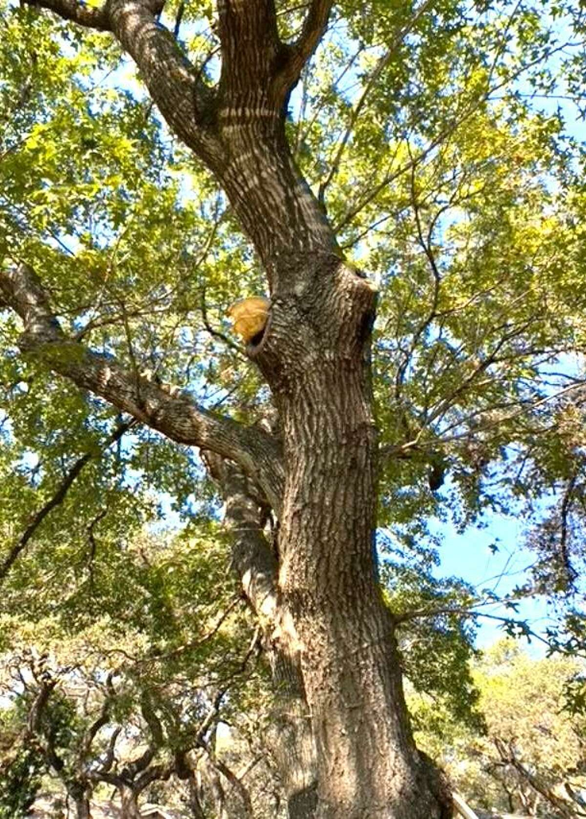 There is a serious decay fungus that has developed within the internal tissues of this red oak. The wood of the tree is severely weakened, and at some point in the near future this tree is likely to fall.