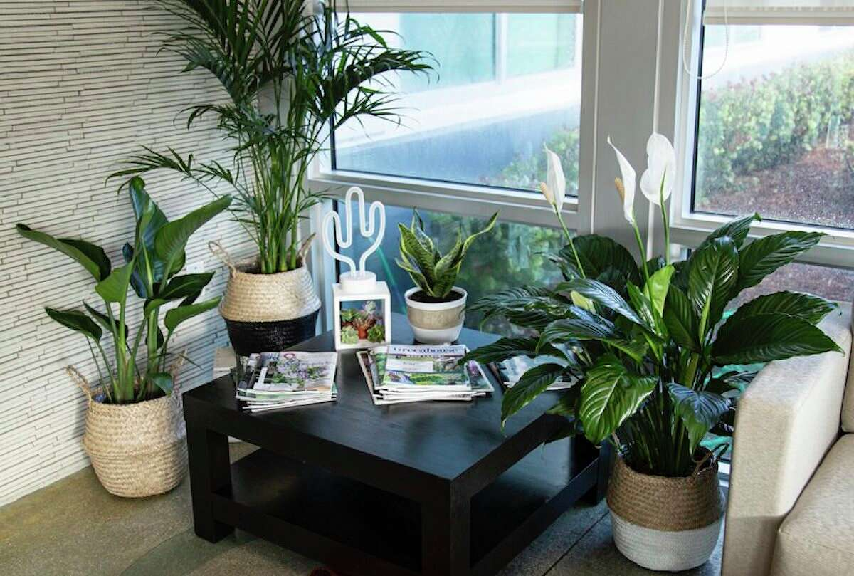 40'' Live Cat Palm Tree in Basket, $52.99 at Wayfair