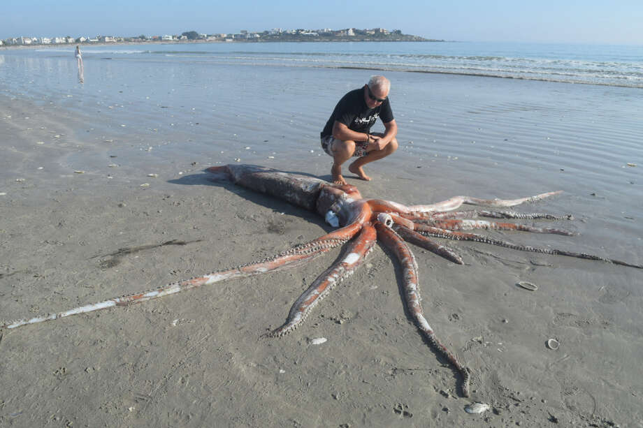 A passerby looks at a baby giant squid that washed up on a beach near Cape Town, South Africa. Scientists could not save the squid, but they are taking advantage of the rare opportunity to study this deep-sea creature. Photo: Adele Grosse / Adele Grosse