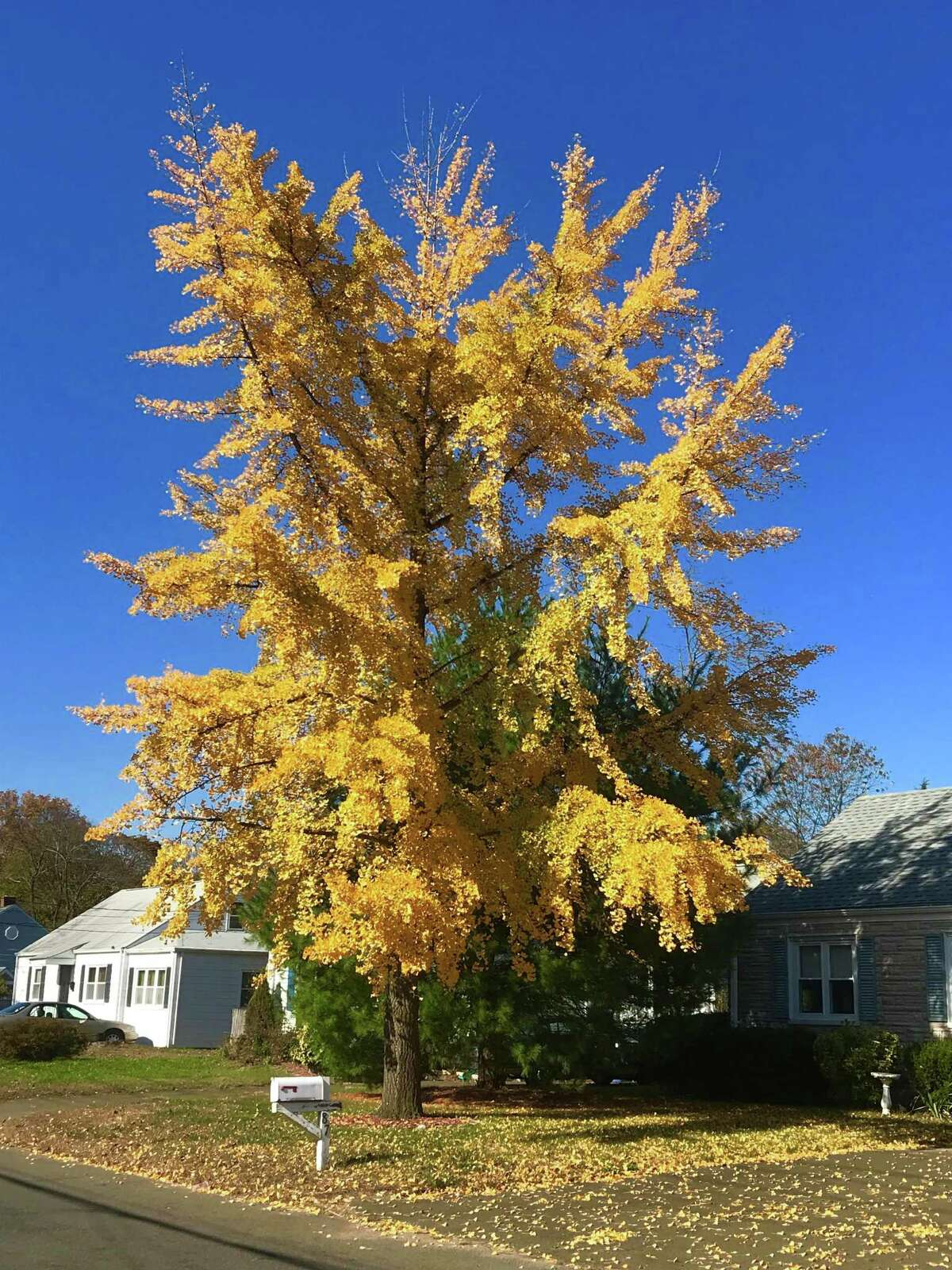 The Hamden Tree Commission has named this ginkgo tree (Ginkgo biloba) as the Hamden Notable Tree for the month of October.