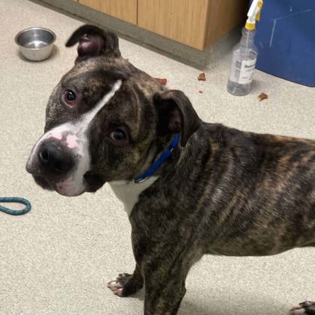 Abassi is a 2-year-old male terrier pitbull mix.
