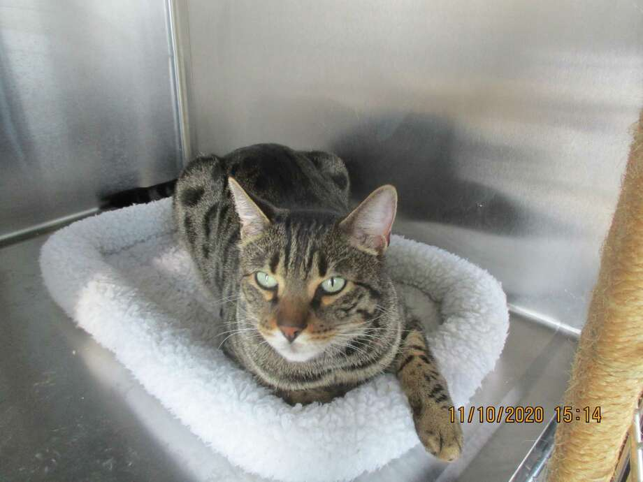 New Canaan Animal Control is seeking the owner of this cat, which bit someone on Gower Road Tuesday, to confirm it has been vaccinated for rabies. Photo: New Canaan Animal Control / Contributed Photo / New Canaan Advertiser Contributed