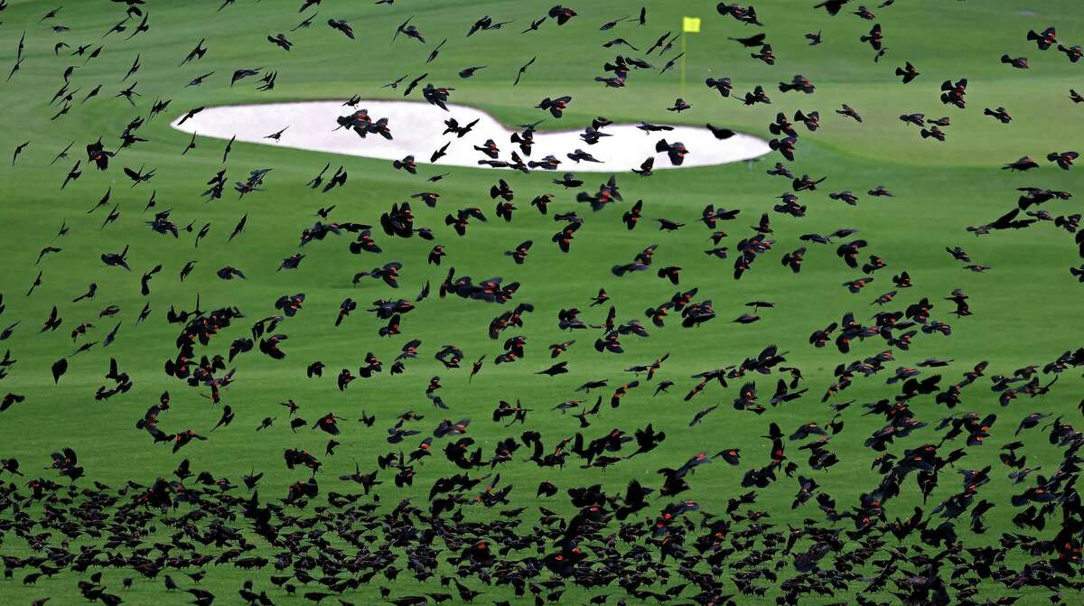 *** BESTPIX *** AUGUSTA, GEORGIA - NOVEMBER 10: Red winged black birds fly over the second fairway during a practice round prior to the Masters at Augusta National Golf Club on November 10, 2020 in Augusta, Georgia.