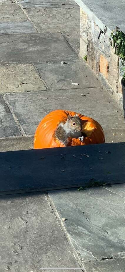 A squirrel named Peter is seen in a pumpkin on a recent sunny day this fall season in Ridgefield. The photo was submitted to The Ridgefield Press by practicing cardiologist, and author Dr. Evan Levine. Photo: Contributed Photo