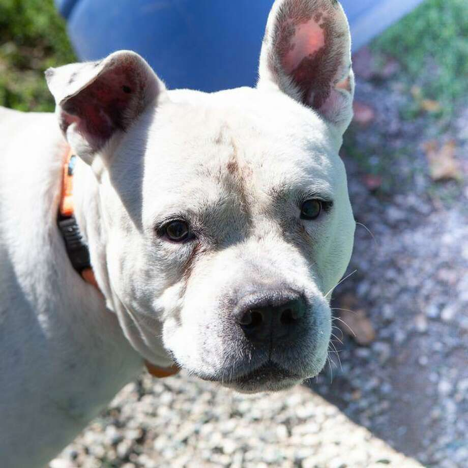Jericho the dog is looking for an experienced, and dog-savvy adopter. He is at the ROAR Donofrio Animal Shelter in Ridgefield, and can be met via an appointment by calling the shelter at (203) 438-0158. Photo: ROAR Donofrio Animal Shelter / Contributed Photo