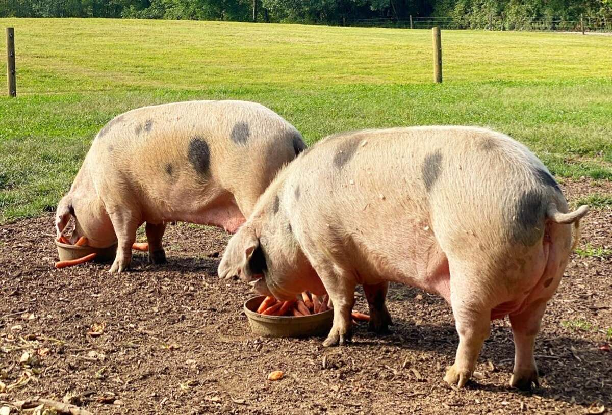Lucy and Ethel, the pregnant pigs at June Farms in West Sand Lake, are no longer pregnant, according toan Instagram post from farm owner, Matt Baumgartner.