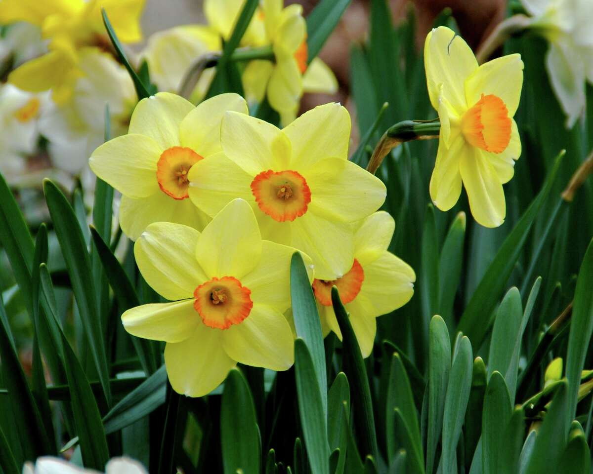 Plant daffodils and other spring flowering bulbs in the fall for extra color next spring. Photo courtesy Melinda Myers LLC.