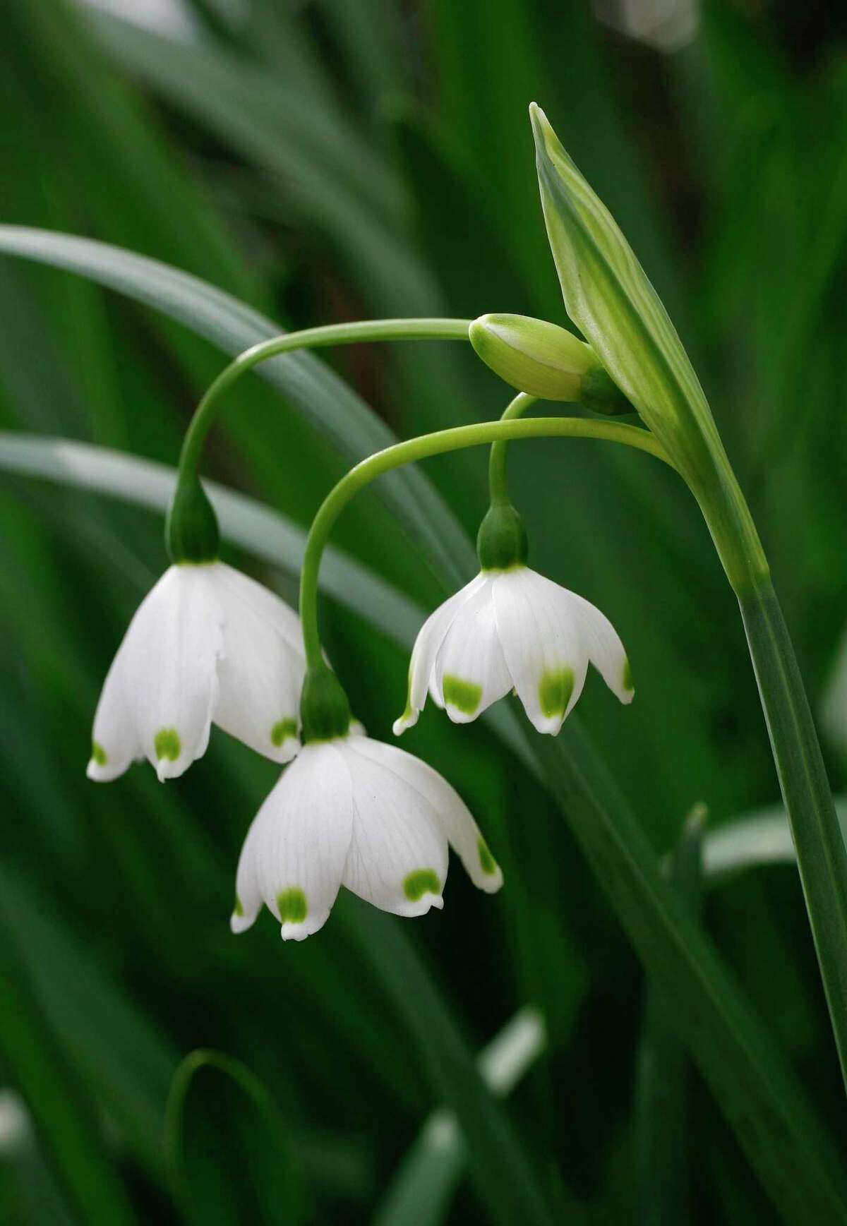 Leucojum aestevum, or snowflake, is an heirloom bulb. John Everett photo