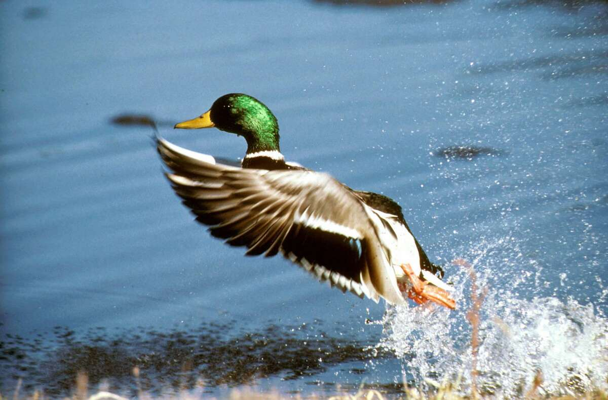 Mallards are the juice that fuels the first with most duck hunters