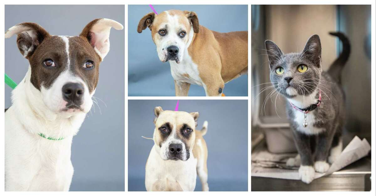 Sparky (left) is a 6-month-old, Labrador Retriever mix; Roger (top, center) is a 7-year-old, male, Pit Bull mix; Kira (bottom, center) is a 2-year-old, American Pit Bull mix; and Nigiri (right) is a 10-month-old, female, grey/white Domestic Shorthair cat are all available for adoption from Harris County Pets.