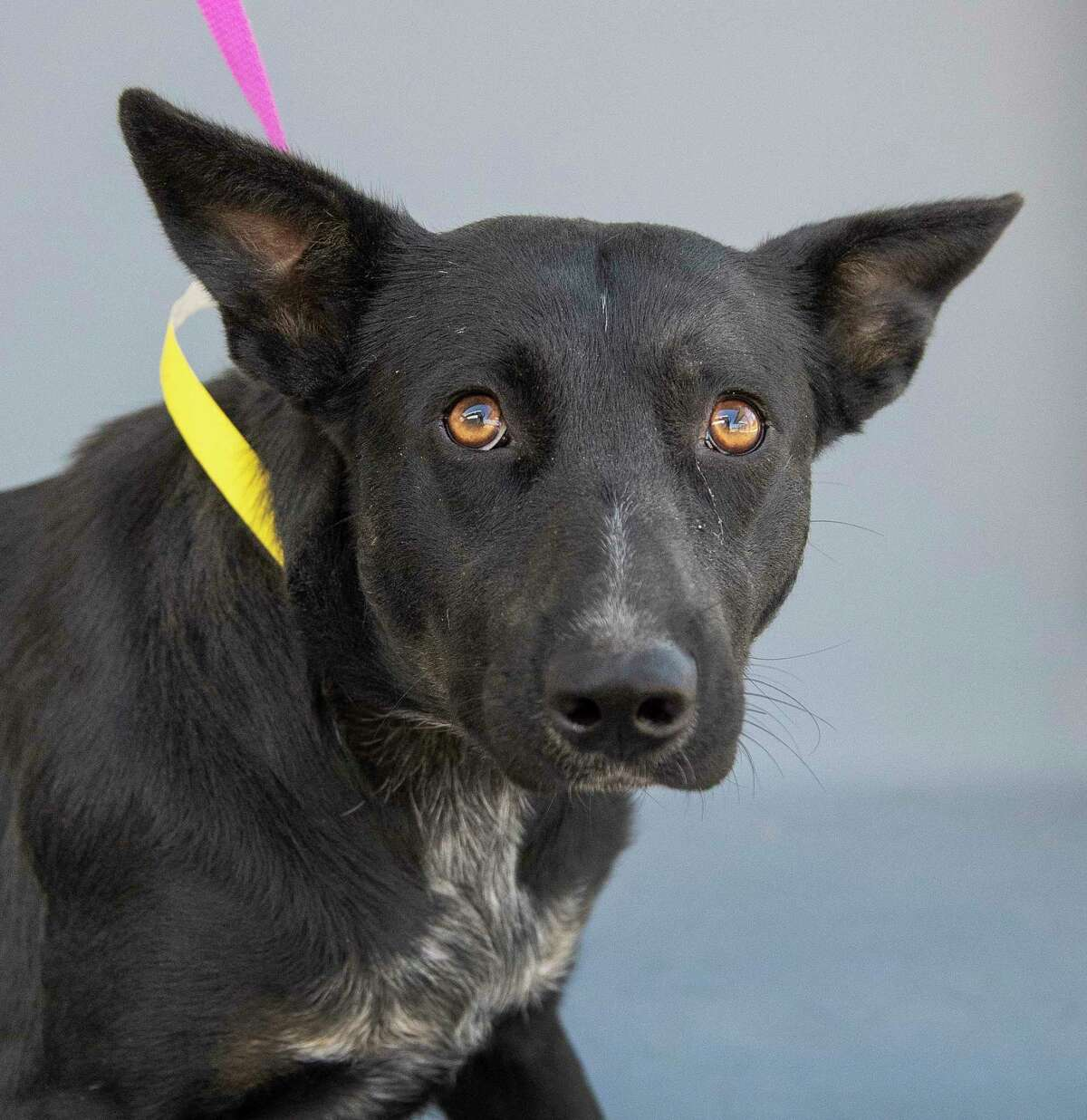 Sombra (A564117) is a 1-year-old, Australian cattle dog mix, available for adoption from Harris County Pets.