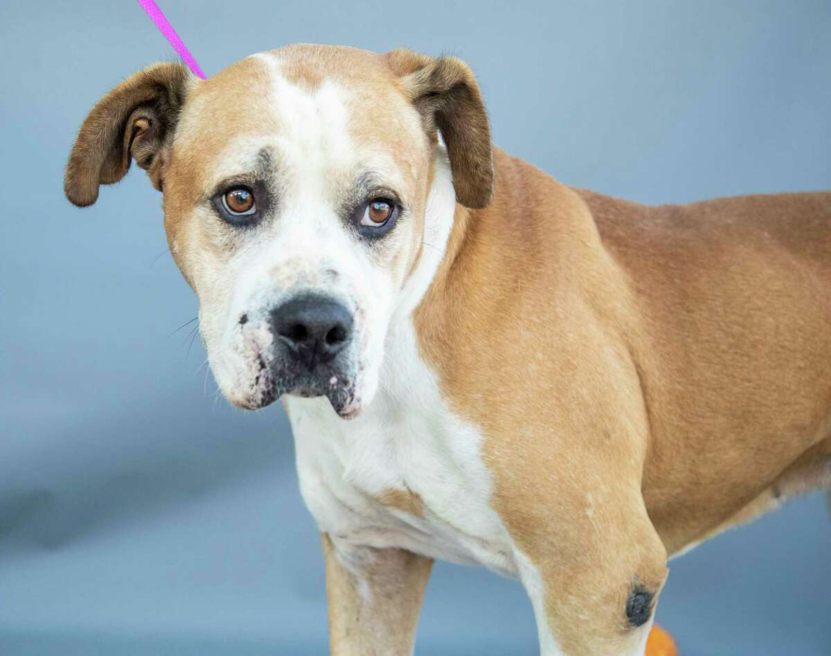 Roger (A563893) is a 7-year-old, male, Pit Bull mix, available for adoption from Harris County Pets.