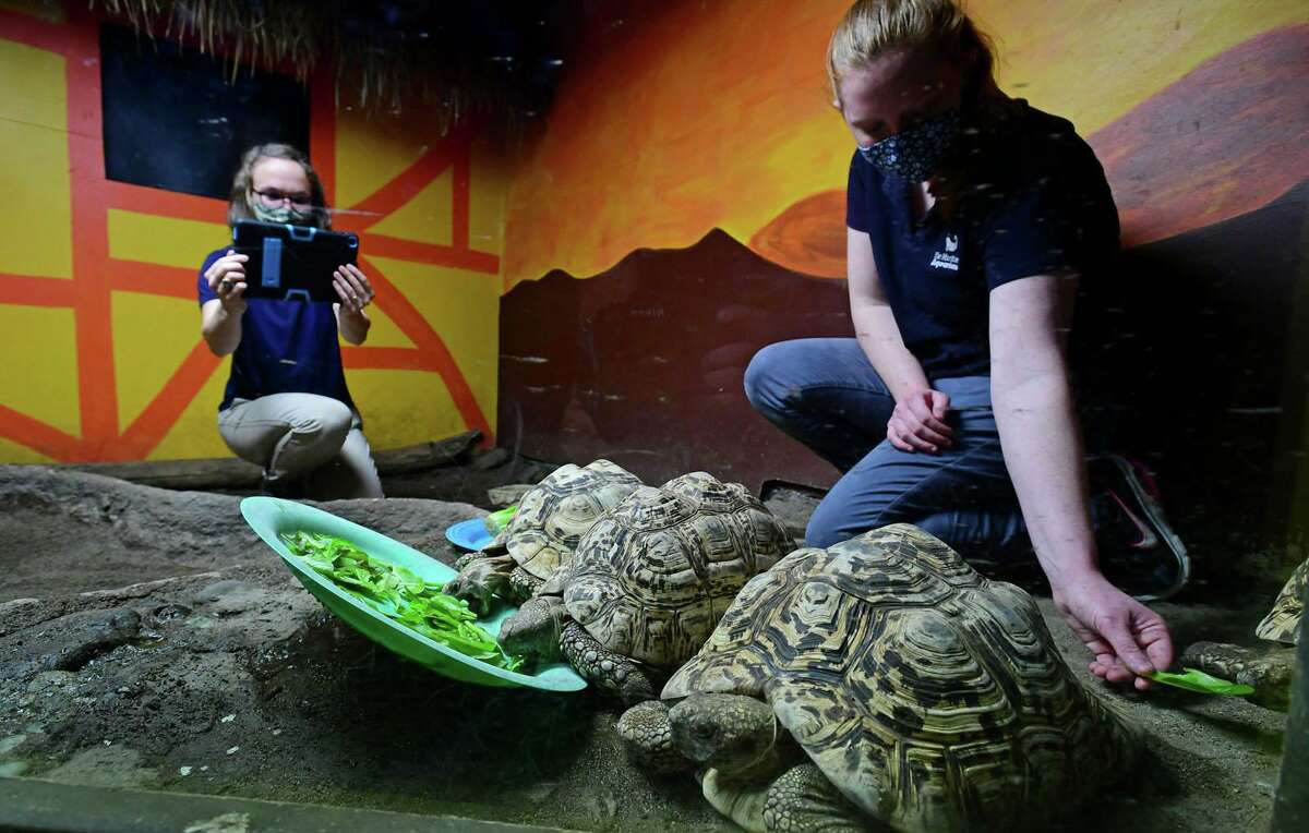 Maritime Aquarium staffers, Bridget Cervero and Melanie Darrah, feed lettuce to their leopard tortoises that students at Tracey Elementary School grew as part of their Farm-to-School Initiative Friday, November 12, 2020, at the aquarium in Norwalk, Conn. The Farm-to-School Initiative offers a gardening experience to every student, both in the garden and in the classroom.The entire school watched remotely via Zoom as their lettuce was fed to the tortoises.