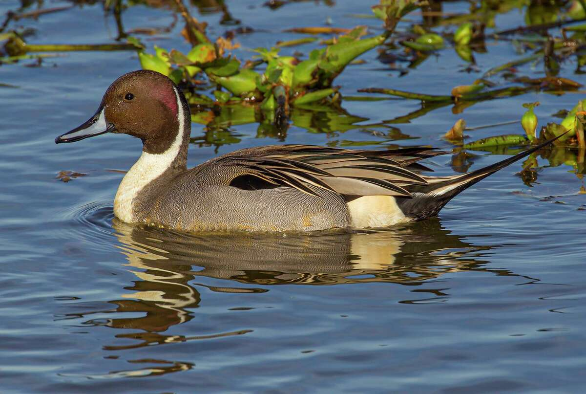 Northern pintail ducks are a dabbling duck. They are easy to identify with their distinctive markings. Photo Credit: Kathy Adams Clark. Restricted use.