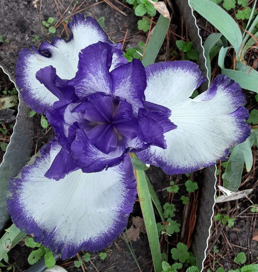 Iris is the ancient Greek goddess of the rainbow, and the iris may take that moniker from the fact that it comes in a rainbow of colors. Photo: Photo Courtesy Margaret McManis